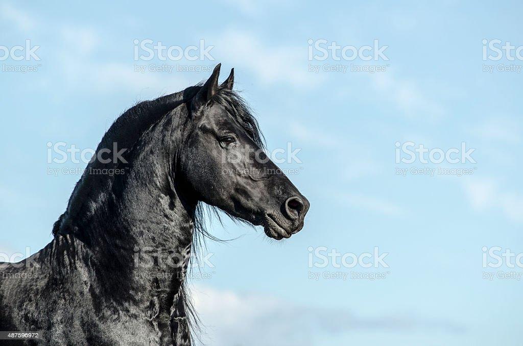 Black frisian stallion over a blue sky portrait stock photo