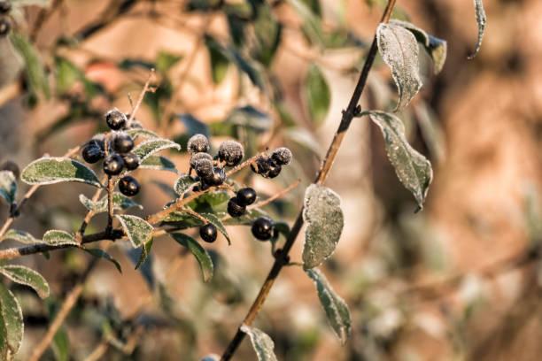Black frosty privet (Ligustrum vulgare) stock photo