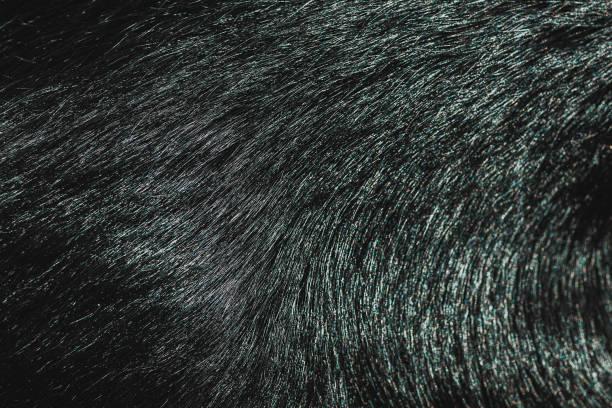 Black fur texture picture id1131416717?b=1&k=6&m=1131416717&s=612x612&w=0&h=ane3fndzi93dz7qljla0xc1tuze1mvlqyvgoz1hq02m=