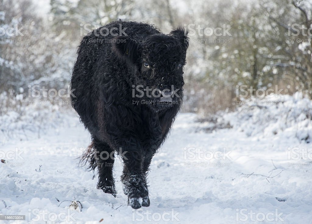 black galloway in winter landscape royalty-free stock photo