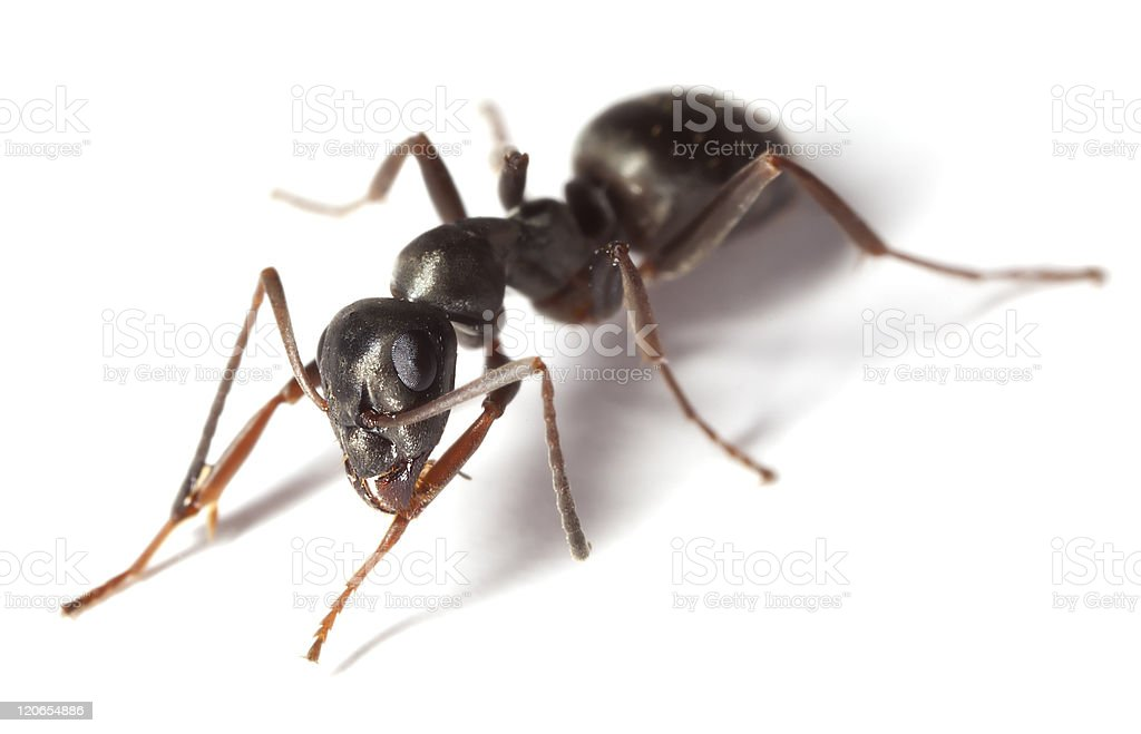 Black garden ant (Lasius niger) isolated on white background stock photo