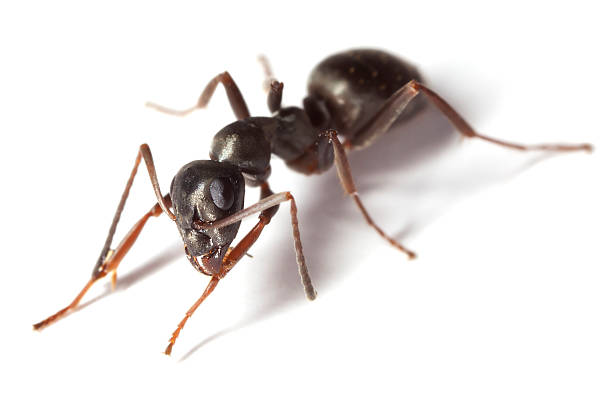 Black garden ant (Lasius niger) isolated on white background​​​ foto