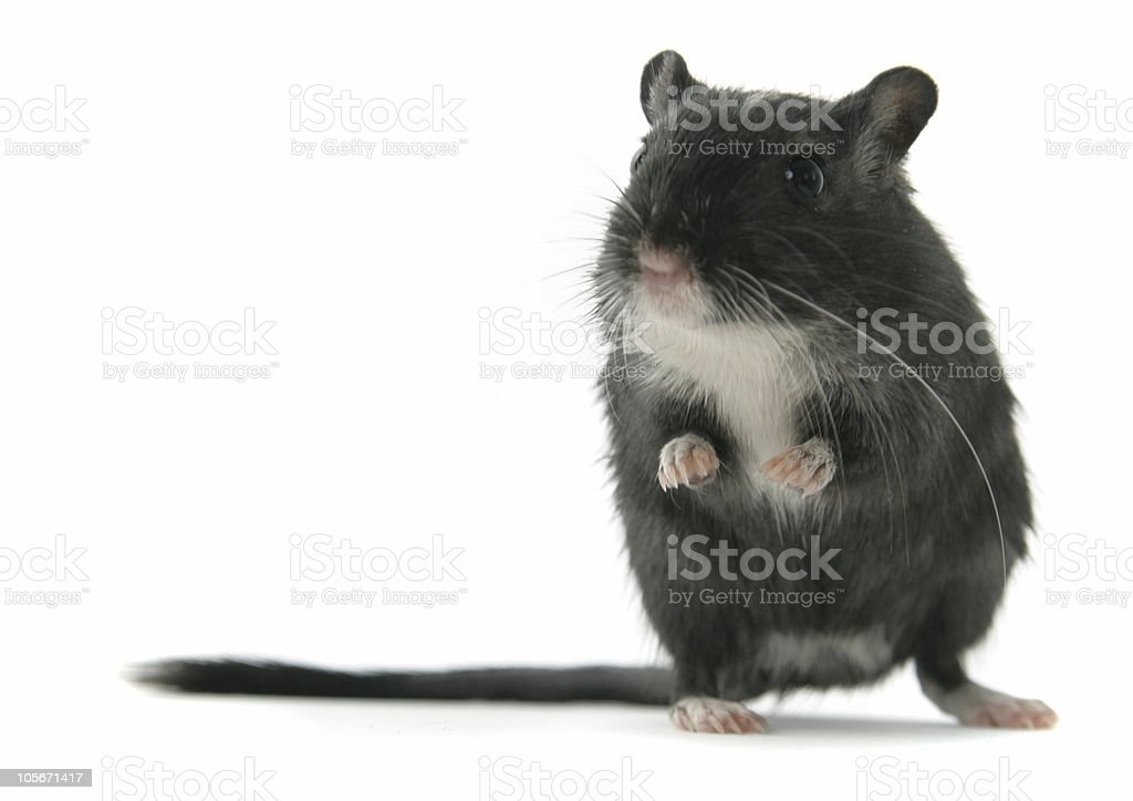 Black Gerbil standing on hind legs royalty-free stock photo