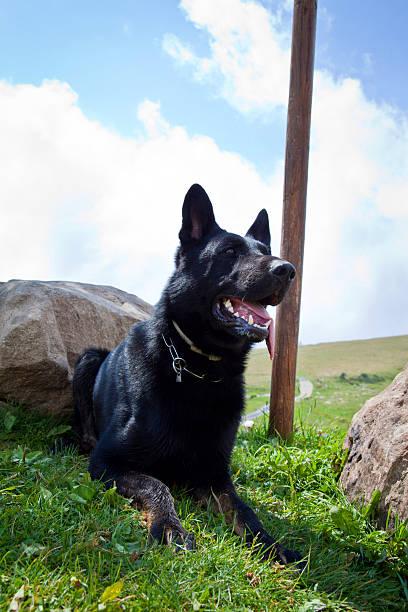 Black German Schäferhund – Foto