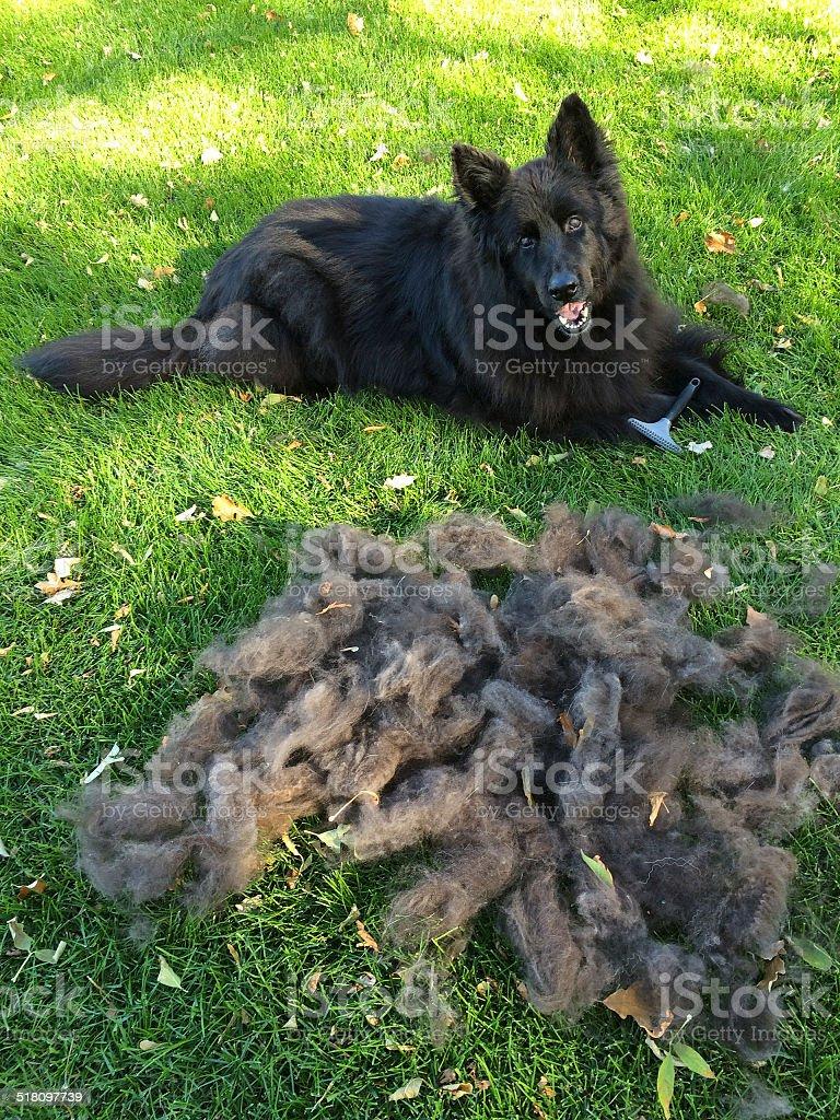 Black German Shepherd with Pile of Hair stock photo