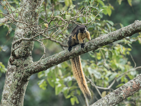 A Black Giant Squirrel (Ratufa bicolor) on Java, Indonesia, looking at the camera