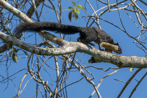 A Black Giant Squirrel (Ratufa bicolor) on the tree trunk