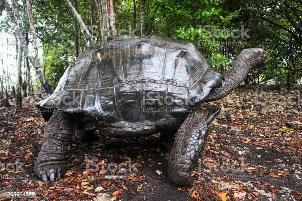 Black giant turtle in tropical forest in africa picture id1203924575?b=1&k=6&m=1203924575&s=612x612&h=zmacrhrhlgxneumy4s3y8epa0sudyme8rjpk9rvn qy=