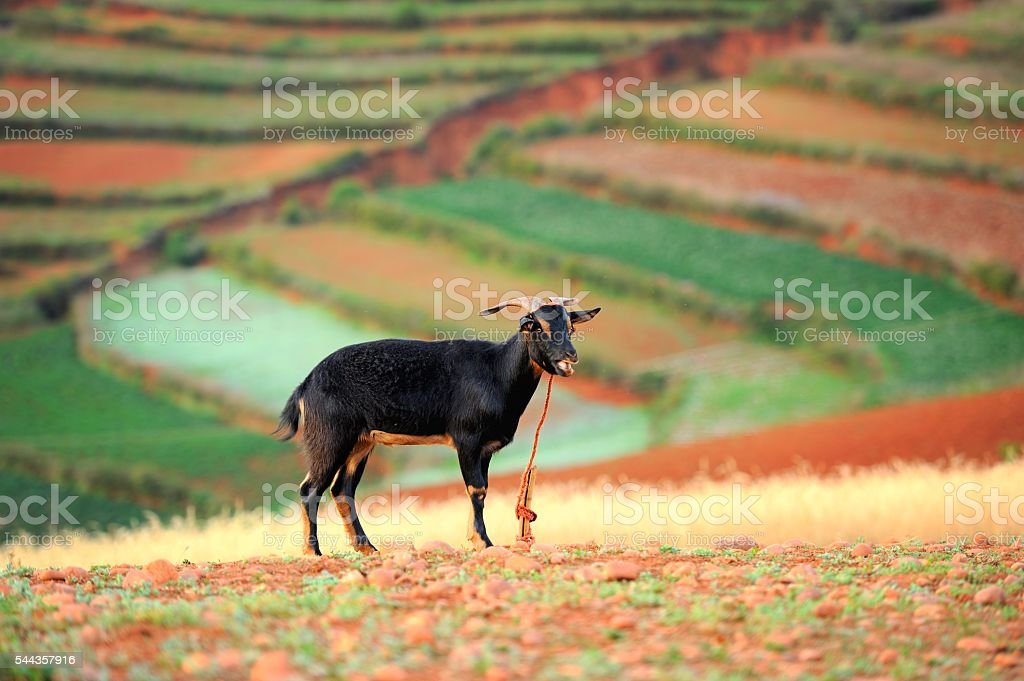 Black goat in the farmlands stock photo