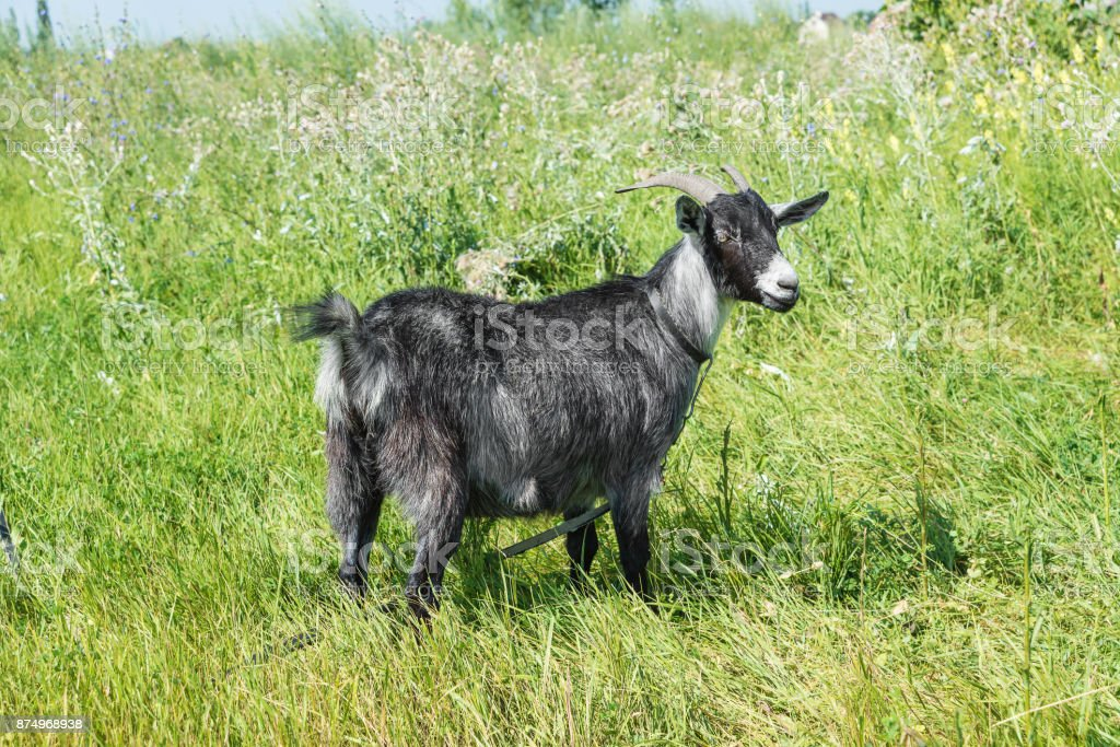 Black goat on the summer meadow stock photo