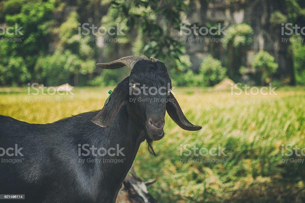 Capra nera  foto stock royalty-free