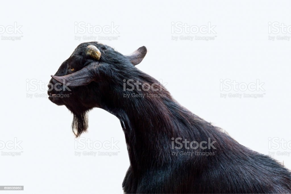 black goats isolated on white background stock photo