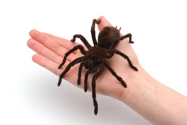 Araña de Birdeating de Goliat negro mano masculina. Concepto de Halloween aislado. - foto de stock