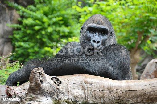 Adult Black Gorilla Resting on a Wooden Pole