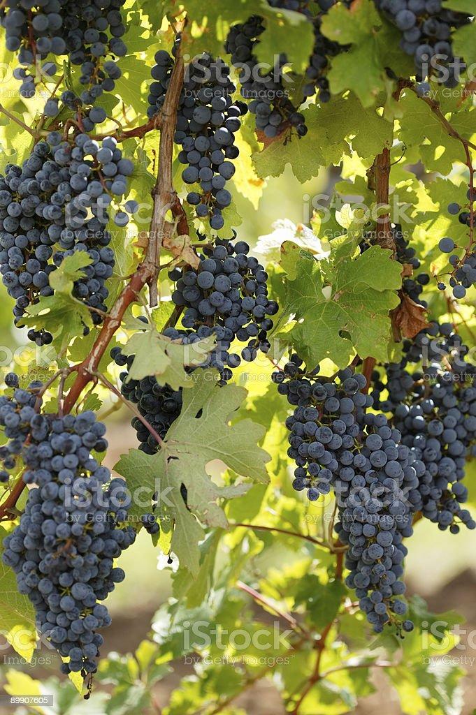 Black grape vine royalty-free stock photo