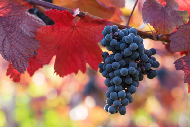 black grapes and colorful leaves stock photo