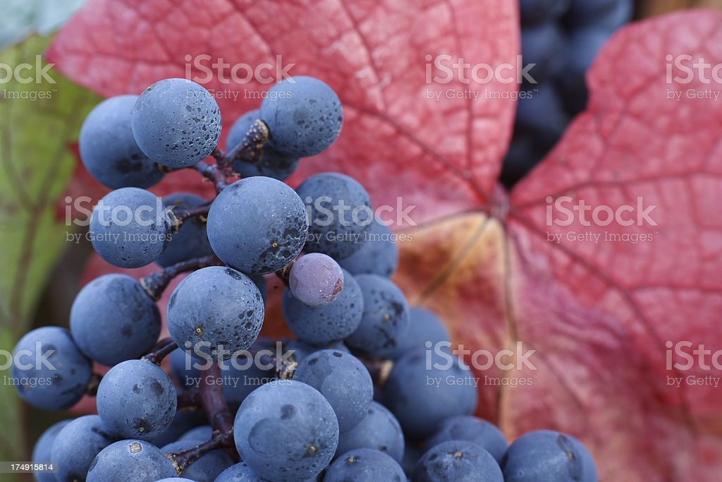 black grapes and red leaf royalty-free stock photo