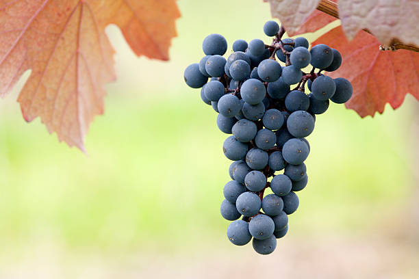 black grapes and red leaves stock photo
