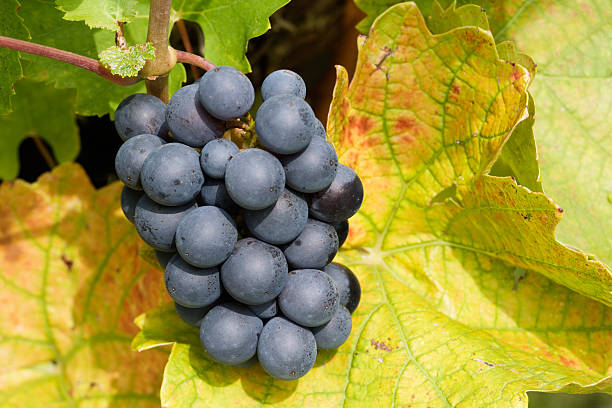 black grapes and yellow leaves stock photo