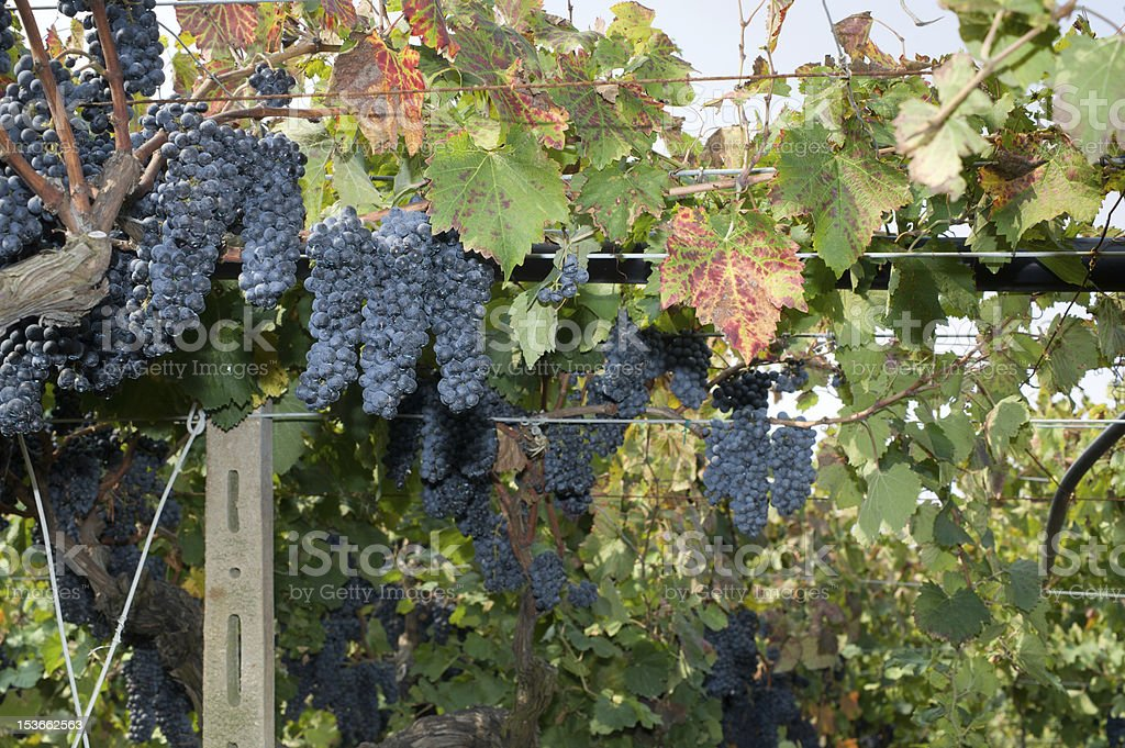 Black grapes in a vineyard ready for harvest - Italy stock photo