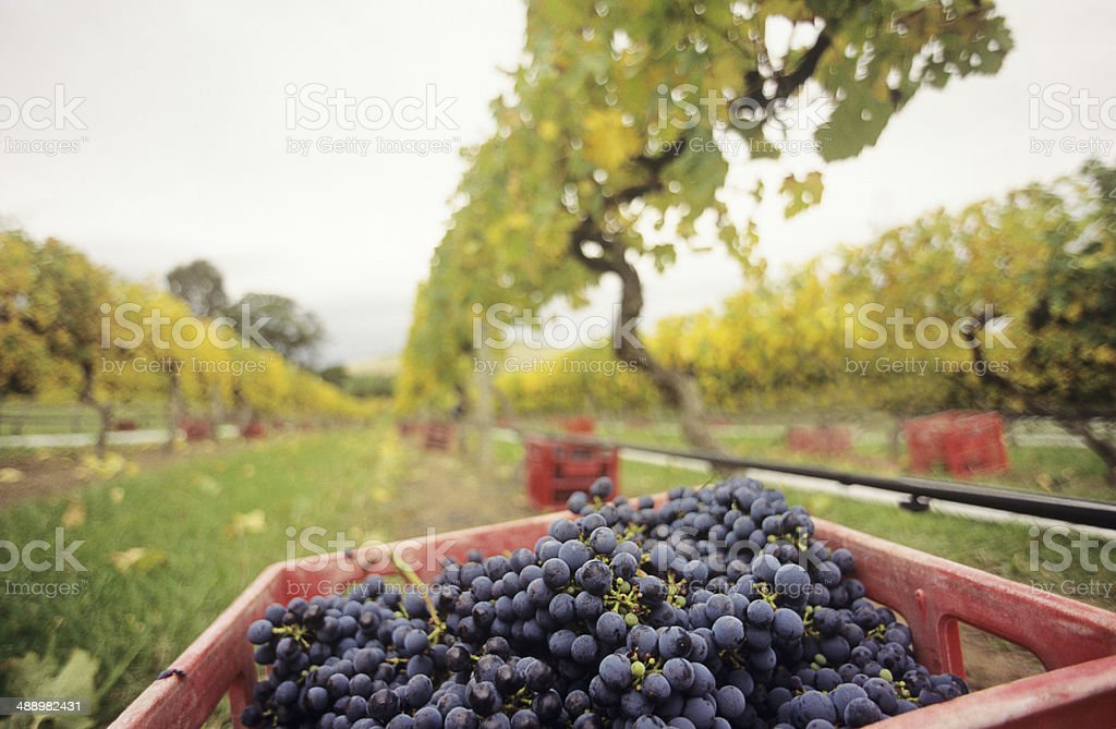 Black grapes in crate at vineyard, Yarra Valley, Victoria, Australia stock photo