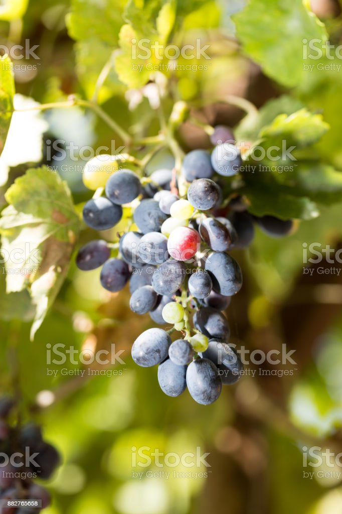black grapes in nature stock photo