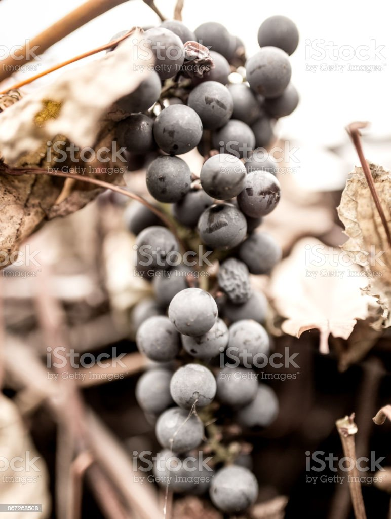 black grapes in the fall on nature stock photo