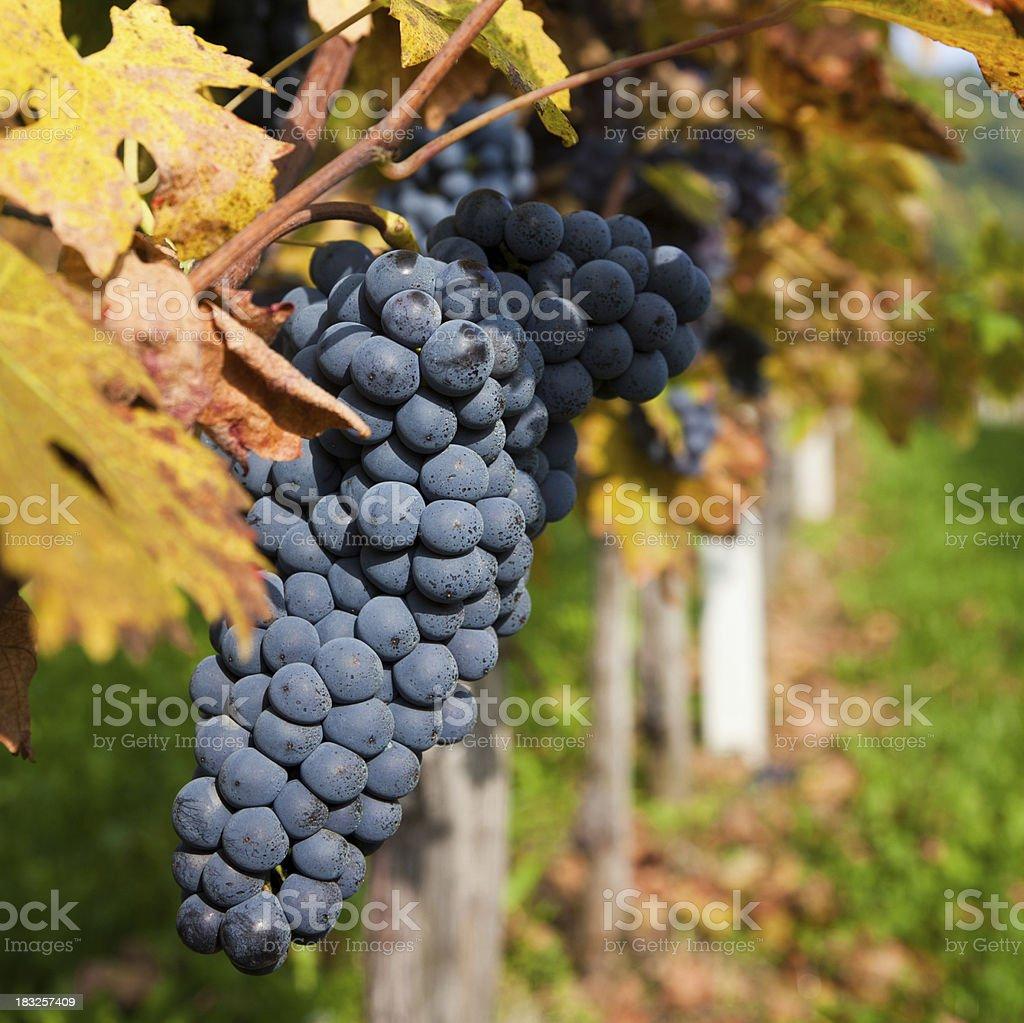 Black grapes in vineyard royalty-free stock photo