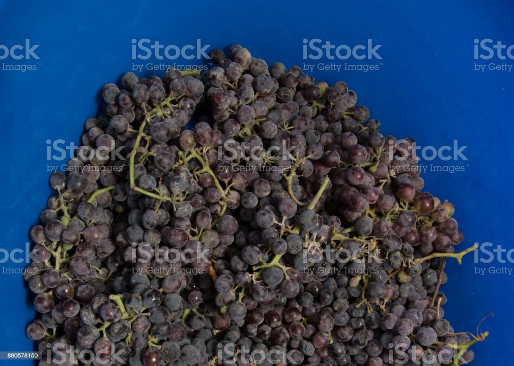 black grapes on a blue background stock photo