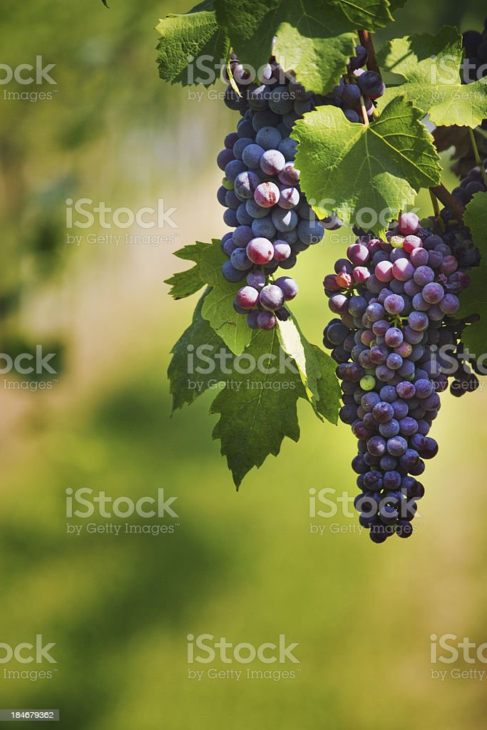 Black grapes royalty-free stock photo
