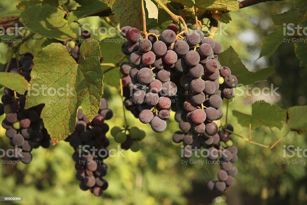 Black Grapes royalty-free stock photo