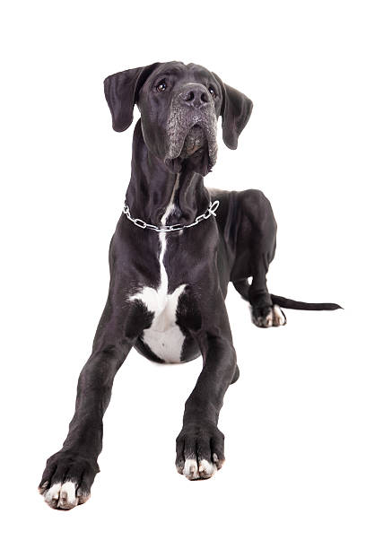 Black Great Dane on white Black Great Dane isolated on white background dane county stock pictures, royalty-free photos & images