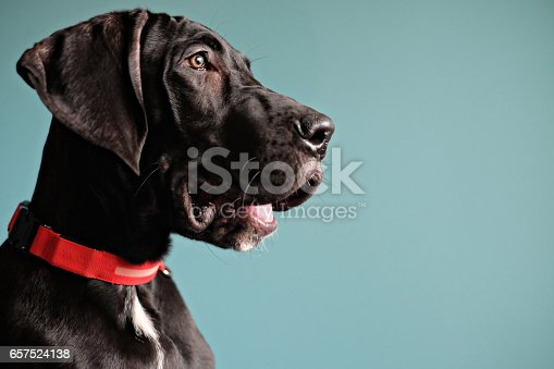 Black Great Dane puppy with an orange collar