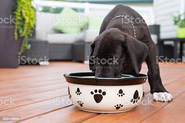 Black great dane puppy eating on deck picture id535428889?b=1&k=6&m=535428889&s=612x612&h=qdrb9h1zhp1ftg4pv2xxpomcopgbkunscq5ellkmpkq=