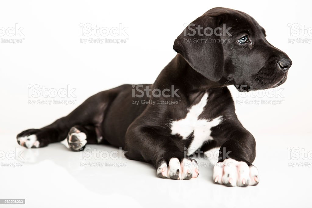 Black Great Dane Puppy Isolated On White Stock Photo ...