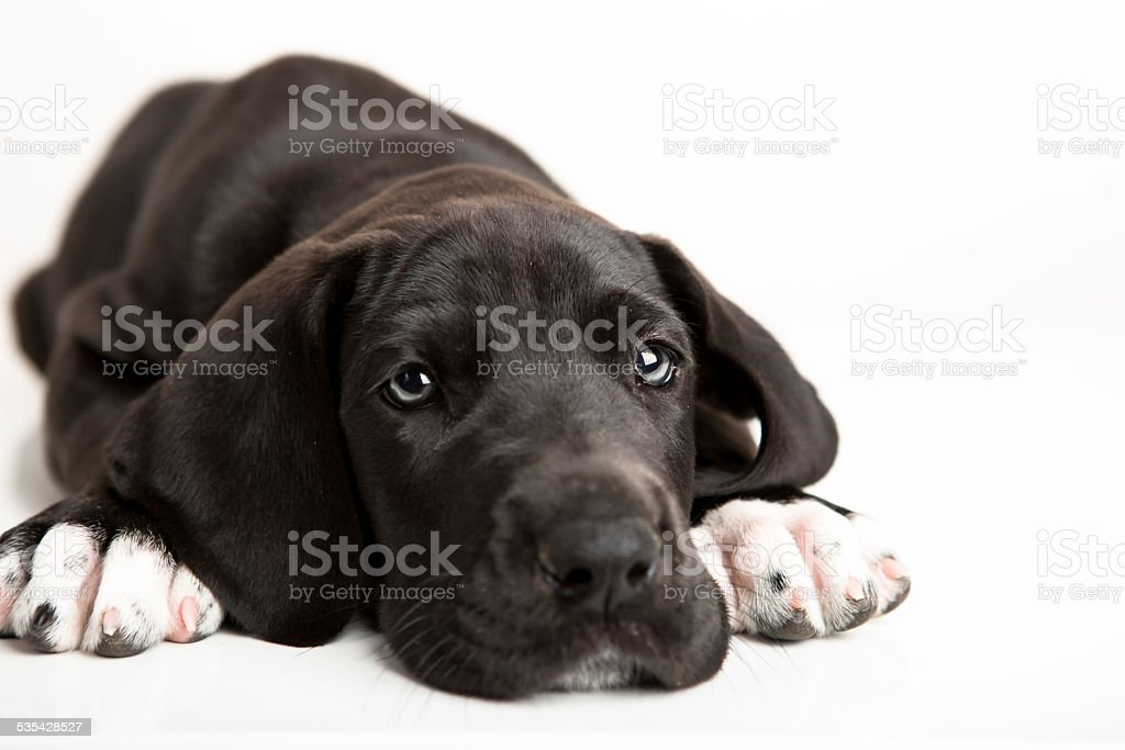 Black great Dane puppy isolated on white stock photo