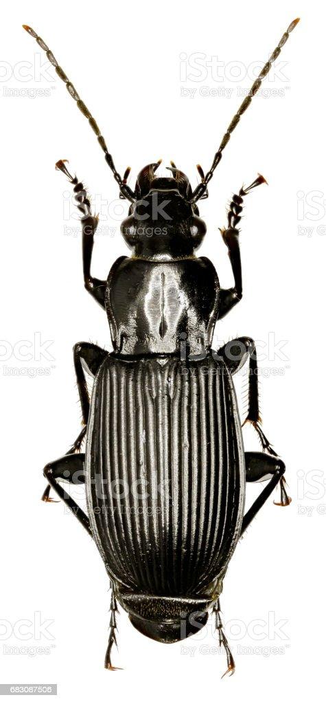 Fotografía de Escarabajo De Tierra De Negro Sobre Fondo Blanco ...