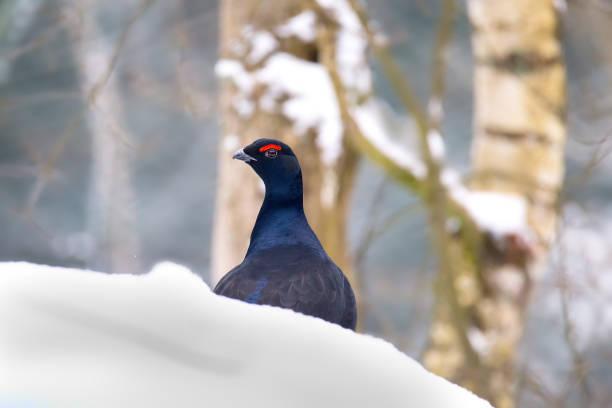 Black grouse - blackgame or blackcock (Tetrao tetrix) male on the snow stock photo