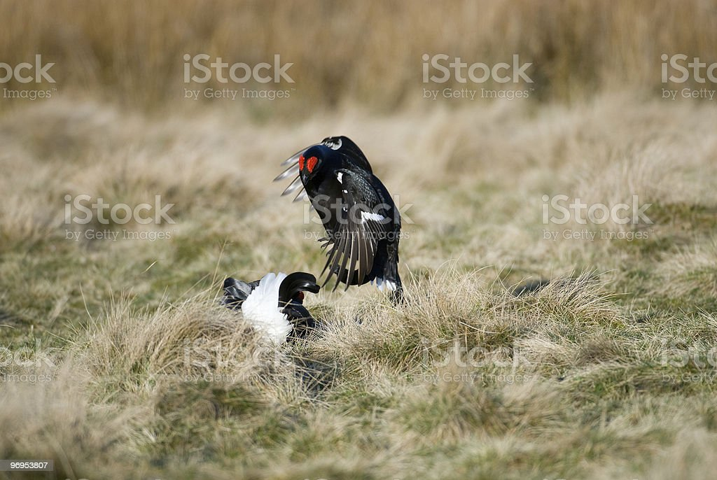 Black Grouse (Tetrao tetrix) Fighting at a lek, in Scotland royalty-free stock photo