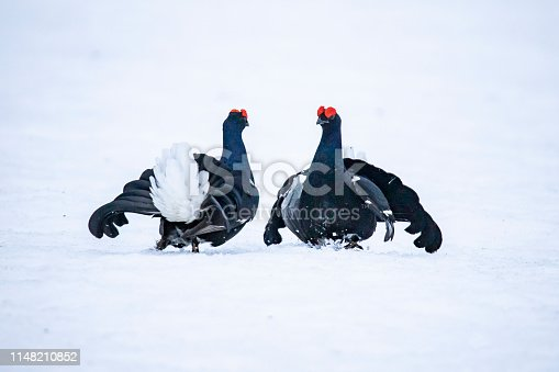 The male Black Grouse makes himself attractive for the ladies