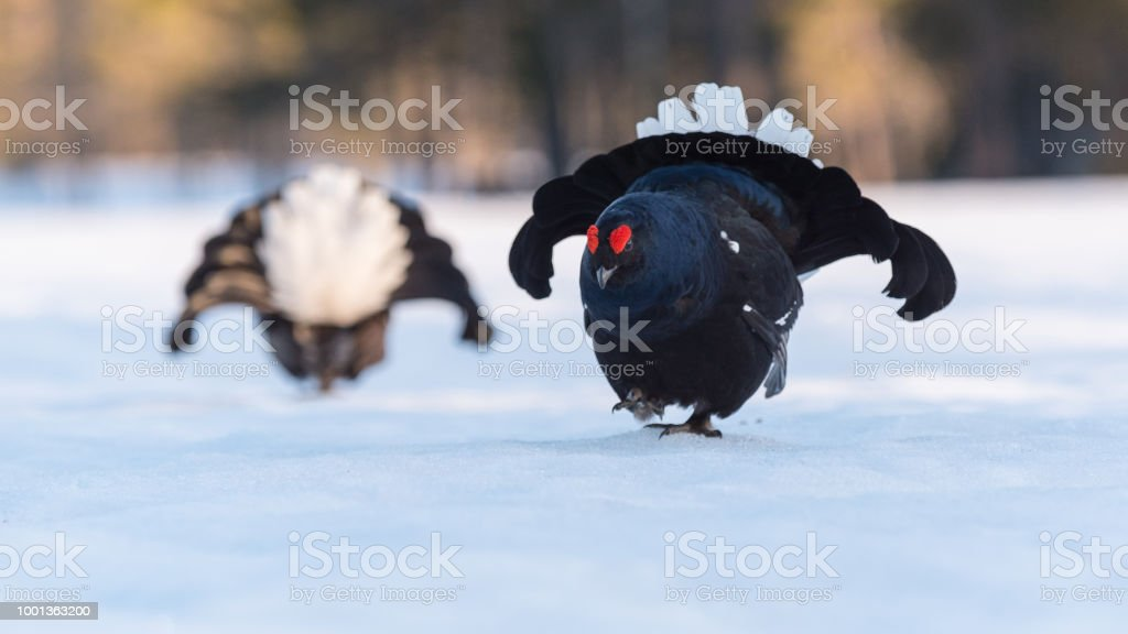 Black Grouse stock photo
