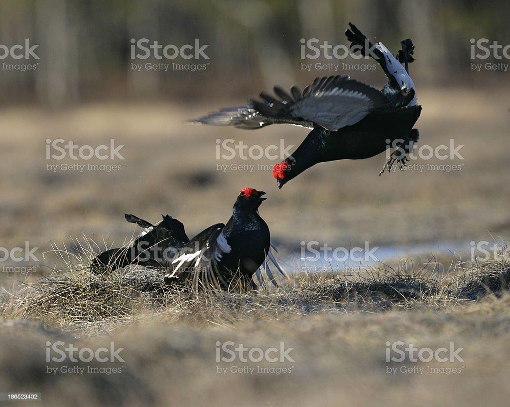 Black grouse, Tetrao tetrix, royalty-free stock photo