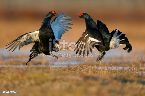 Black grouse, Tetrao tetrix, two males fighting in marsh land, Finland, April 2013