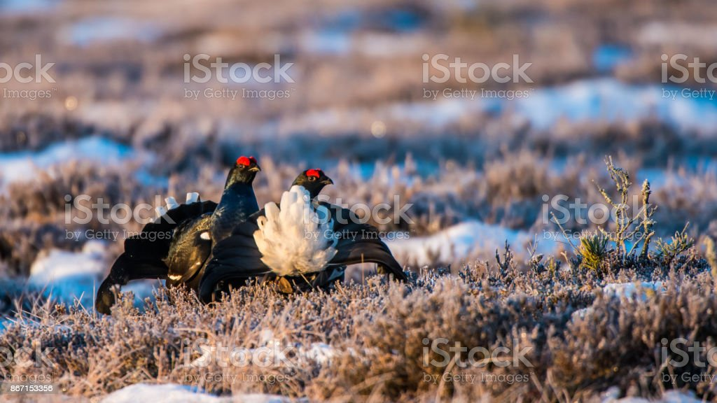 Black Grouses stock photo