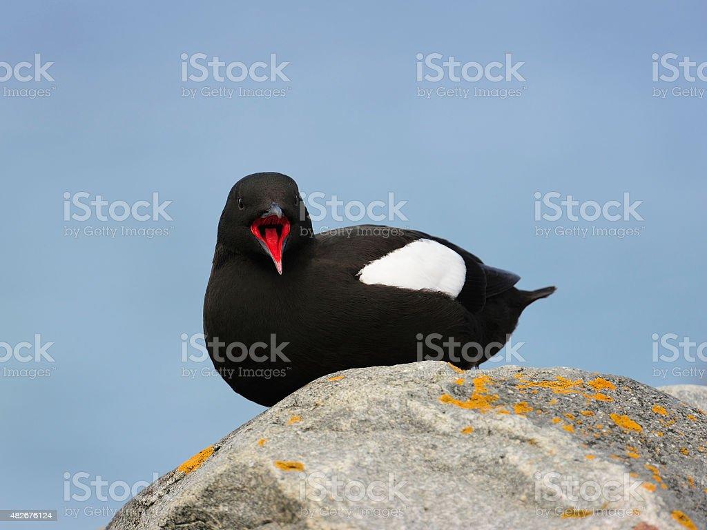 Black Guillemot stock photo