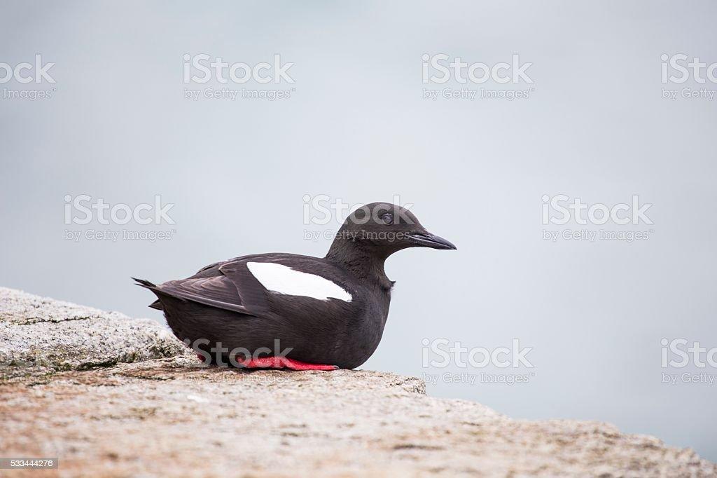 Black Guillemot (Cepphus grylle) stock photo