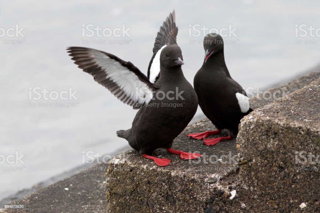 Black Guillemots (Cepphus grylle) on the harbour steps at Oban, Scotland stock photo