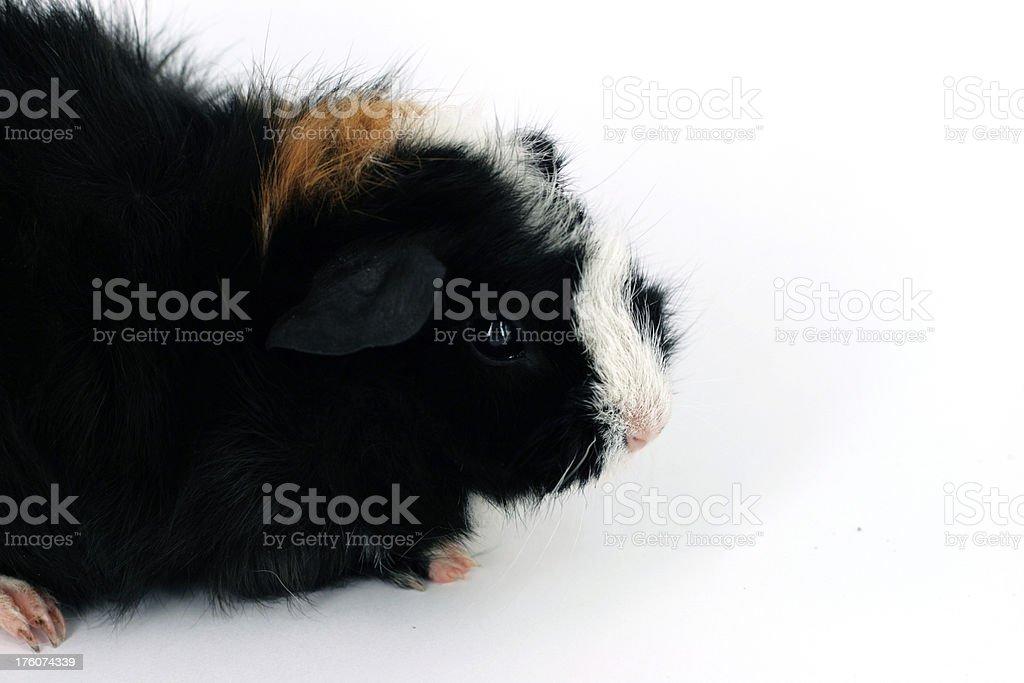 Black guinea pig stock photo