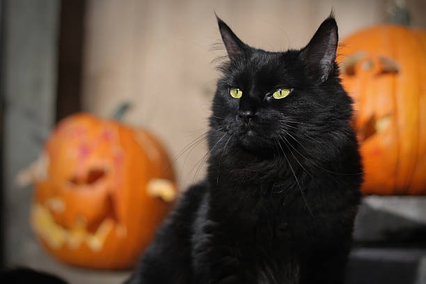 Black Halloween Cat  halloween cat stock pictures, royalty-free photos & images