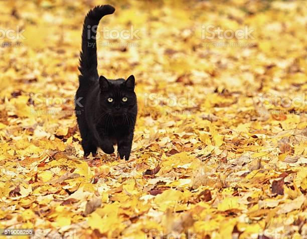 Black halloween cat running on autumn leaves picture id519008255?b=1&k=6&m=519008255&s=612x612&h=mxi52nyidoyp1wc7fbvxflgwdesu6i64popqhxtbog0=